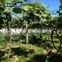 Truthähne auf der Kiwiplantage