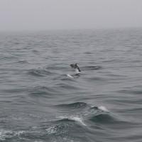 Delfin in freier Wildbahn