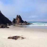 Seelöwe am Allans Beach