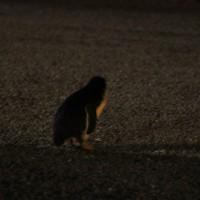 Blauer Pinguin in der Stadt