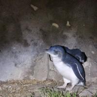Blauer Pinguin