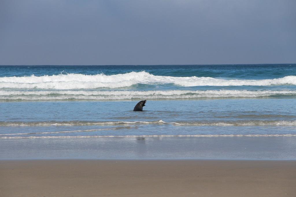 Seehund am Allans Beach